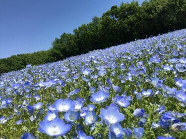 武蔵丘陵森林公園|水色の丘はネモフィラの花畑