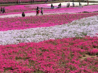 秩父の羊山公園「芝桜の丘」は 一面ピンクの花畑