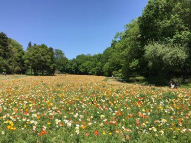 武蔵丘陵森林公園|春爛漫!アイスランドポピーの花畑