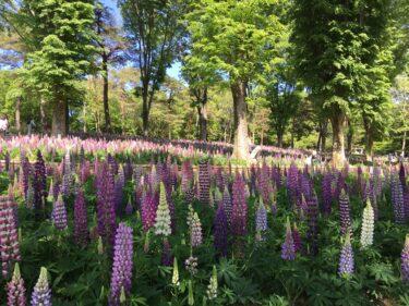 武蔵丘陵森林公園|木立に広がるルピナスの花畑