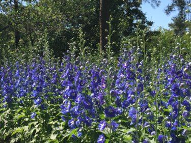 武蔵丘陵森林公園|デルフィニウムの花畑