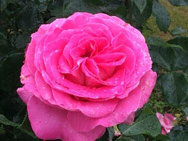 春の京成バラ園|満開のバラ、ばら、薔薇は雨でもきれい