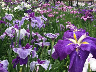 堀切菖蒲園で花菖蒲の美しさに惚れ惚れ